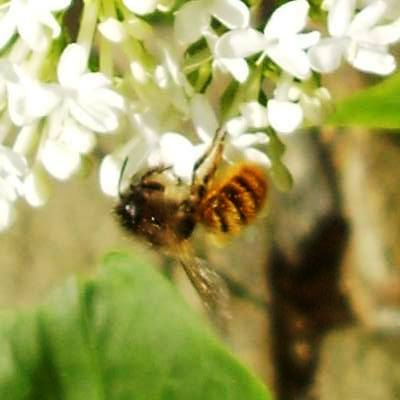 Solitary_Bee